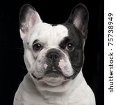 French Bulldog  3 Years Old  I...