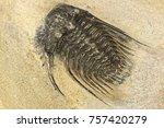 complete pyritised leonaspis ... | Shutterstock . vector #757420279