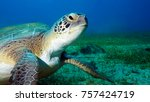 Small photo of Green Turtle Looking Camera