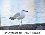 bird  gull perched on the pier. | Shutterstock . vector #757443685