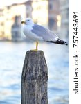 bird  gull perched on the pier. | Shutterstock . vector #757443691
