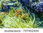 Small photo of Orange nemo clown fish in SEA Aquarium Singapore
