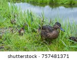 closeup view of mallard duck... | Shutterstock . vector #757481371