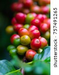 coffee beans ripening on coffee ... | Shutterstock . vector #757491265