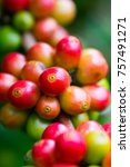 coffee beans ripening on coffee ... | Shutterstock . vector #757491271
