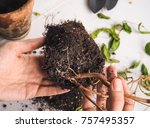 Small photo of Diseases of plants. Limp leaves, rotting of the root system. Fuchsia.