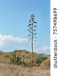 Small photo of high and low cactus from the Mediterranean sea