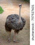 portrait of a female ostrich. | Shutterstock . vector #757527631