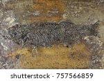 thaumaturus intermedius fish... | Shutterstock . vector #757566859