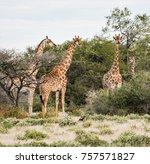 namibia. etosha national park.... | Shutterstock . vector #757571827