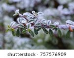 Frosted Cotoneaster Branch In ...
