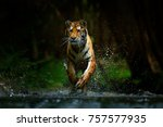 tiger running in the water.... | Shutterstock . vector #757577935