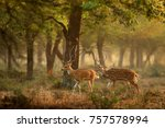 chital or cheetal  axis axis ... | Shutterstock . vector #757578994
