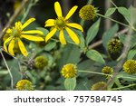 Small photo of Bright, colorful wingstem flower (Verbesina alternifolia) on a green and yellow background