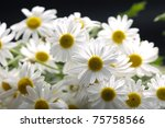 White Chrysanthemum Flowers...