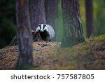 european badger  meles meles ... | Shutterstock . vector #757587805