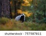 european badger  meles meles ... | Shutterstock . vector #757587811