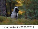 european badger  meles meles ... | Shutterstock . vector #757587814