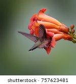 beautiful hummingbird photo in... | Shutterstock . vector #757623481