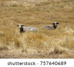 A  Woolly Sheep  Grazing With ...