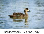 close up pacific black duck  ... | Shutterstock . vector #757652239