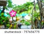 Small photo of Adenium flower adenium multiflorum isolated desert rose their colorful flowers