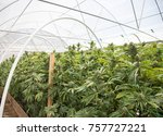 commercial cannabis grow... | Shutterstock . vector #757727221