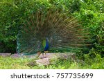 peacock with a loose tail close ... | Shutterstock . vector #757735699