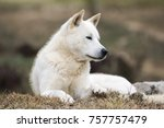 portrait of a korean jindo dog. ... | Shutterstock . vector #757757479