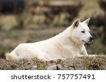 portrait of a korean jindo dog. ... | Shutterstock . vector #757757491