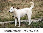 portrait of a korean jindo dog. ... | Shutterstock . vector #757757515