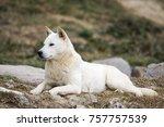 portrait of a korean jindo dog. ... | Shutterstock . vector #757757539
