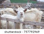 agriculture breeding goats....   Shutterstock . vector #757792969