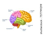 human brain  colored labeled...