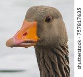 portrait of a greylag goose... | Shutterstock . vector #757817635