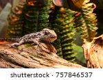 lizard anolis smaiiwood at the... | Shutterstock . vector #757846537