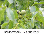 walnut  walnut tree  costa... | Shutterstock . vector #757853971