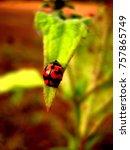Ladybug Or Ladybird On Green...