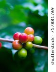 coffee beans ripening on coffee ... | Shutterstock . vector #757881769