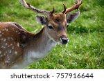 Closeup Photo Of Deer Eating I...