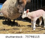 a mother sheep nuzzles her baby ...   Shutterstock . vector #75798115