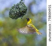 Small photo of Southern masked weaver in Kruger national park, South Africa ; Specie Ploceus velatus family of Ploceidae
