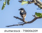 Small photo of Lesser grey shrike in Kruger national park, South Africa ; Specie Lanius minor family of Laniidae