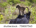chacma baboon in kruger... | Shutterstock . vector #758007565