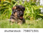 Stock photo german shepherd puppy outside puppy in the green grass 758071501