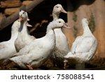close up of ducks on field   Shutterstock . vector #758088541