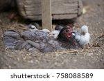 free range chickens in field   Shutterstock . vector #758088589