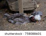 free range chickens in field   Shutterstock . vector #758088601