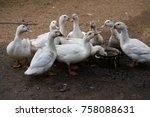 close up of ducks on field   Shutterstock . vector #758088631