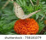 Stock photo marigold flowers and butterfly 758181079
